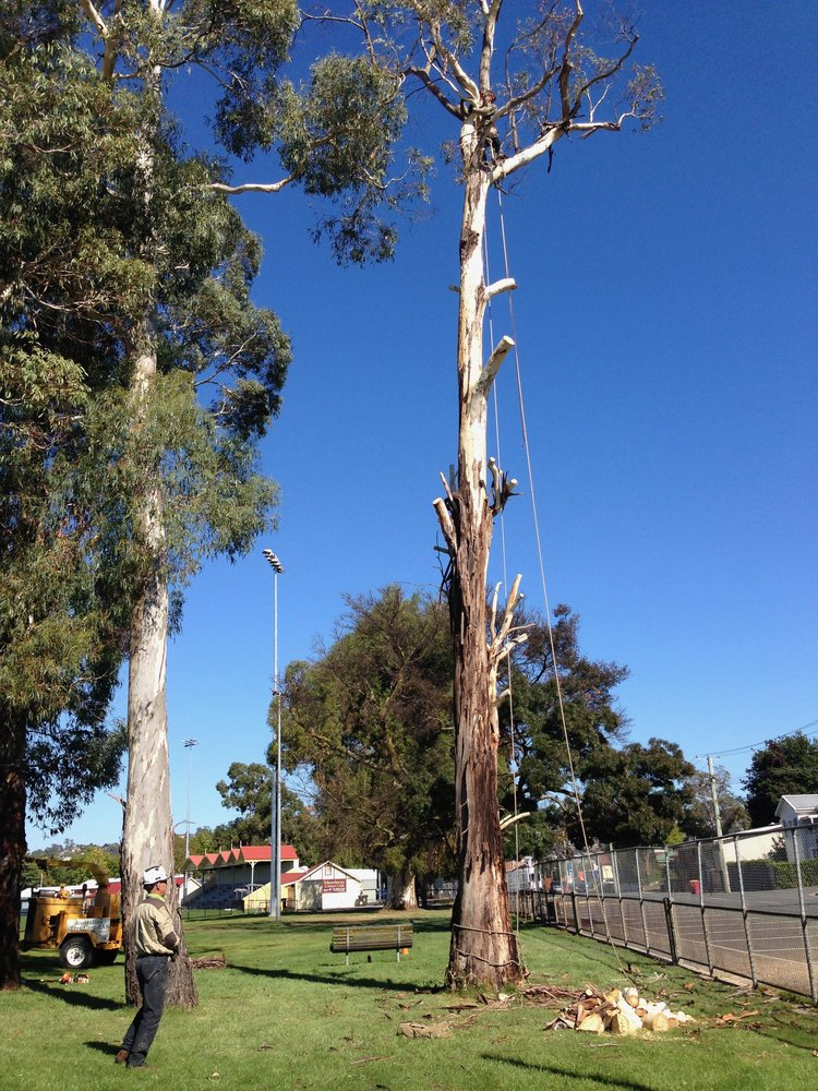 Removal of hazardous tree for the City of Launceston